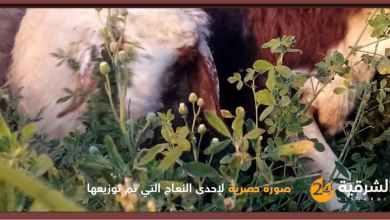 صورة نعجتين لكل أرملة|| منظمة إيرانية توزع المعونات في ريف ديرالزور وتصفها بالعطية المقدمة من إيران.