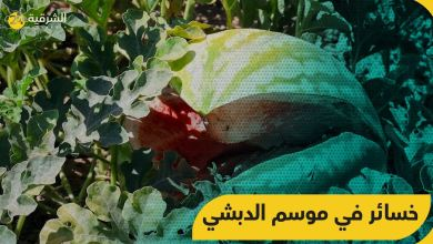 صورة موسم الدبشي (الجبس الأحمر) يتعرض لخسائر فادحة في ريف ديرالزور الشرقي.. والمزارعون يشتكون
