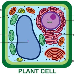 Plant Cell Diagram Vacuole Three Phase Star Delta Wiring Typical To Wye Four Wire Transformer Label Asc Biology Blog