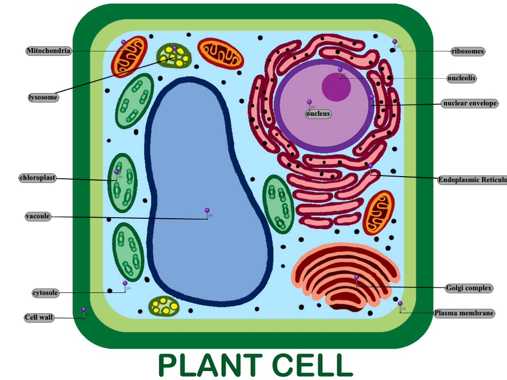 plant cell diagram with labels pt cruiser radio wiring label asc biology blog