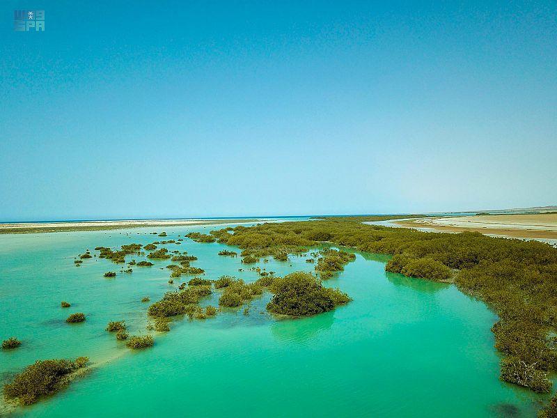 أشجار المانجروف جنوب محافظة ضباء ..أعجوبة طبيعية تسكن سواحلها