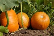 pumpkin-1637320_1280