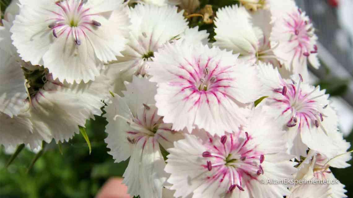 De hvide og pink nelliker vokser i plantevæggen. De blev sået sidste sommer, men har først sat blomster i år.