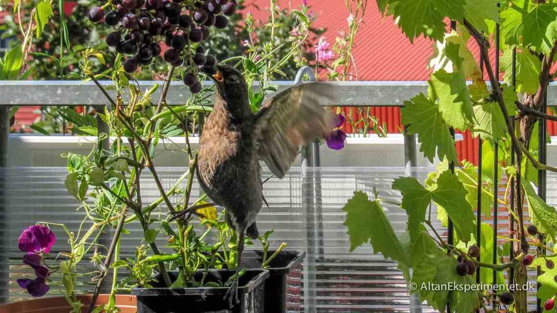 Klatretyv på altanen - En ubuden gæst har i længere tid huseret på altanen