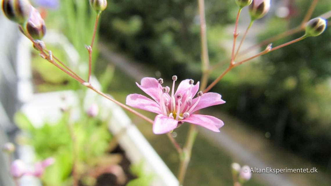 Lyserøde blomster i altankassen
