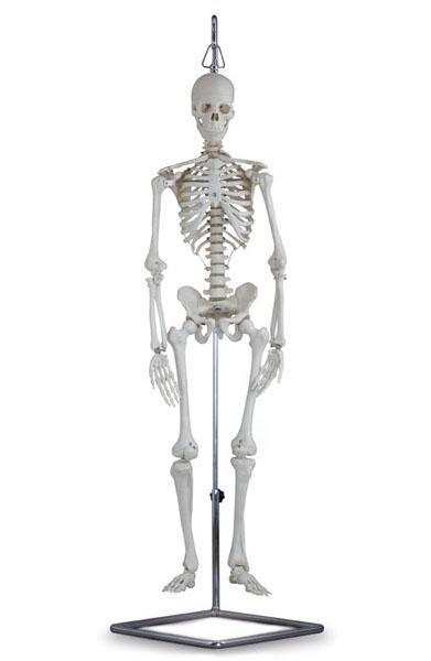 Skeletal System – Altay Scientific Group