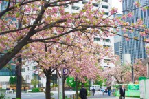Some cherry blossoms on the boulevard.