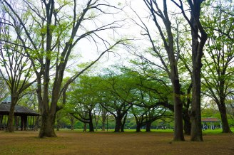 Trees in Yoyogi Park start to grow leaves as the CHerry Blossom season just ended.