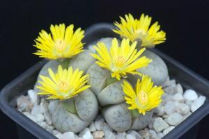 Weird Flowers - 25. Lithops Weberi (Lithops comptonii)