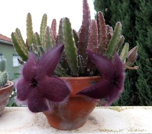 Weird Flowers - 27. Star Flower (Stapelia grandiflora)