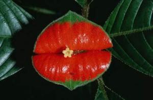 Weird Flowers - 6. Hooker's Lips (Psychotria elata)