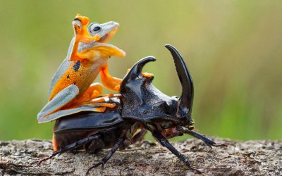 Photographer Captures World's Tiniest Rodeo: Frog Riding A Beetle