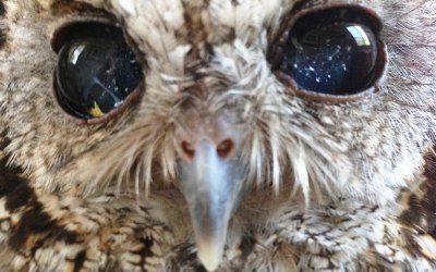 This Rescued Blind Owl has Stars In His Eyes