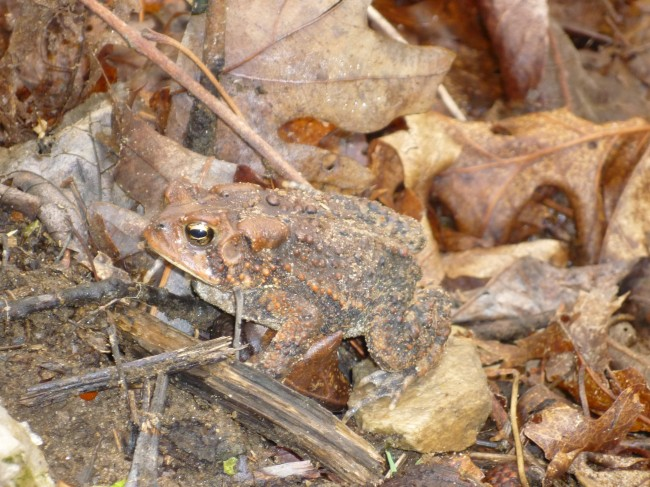 Camouflage Animals - Toad (Anura)