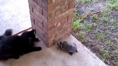 Cat vs. Turtle vs. Cat
