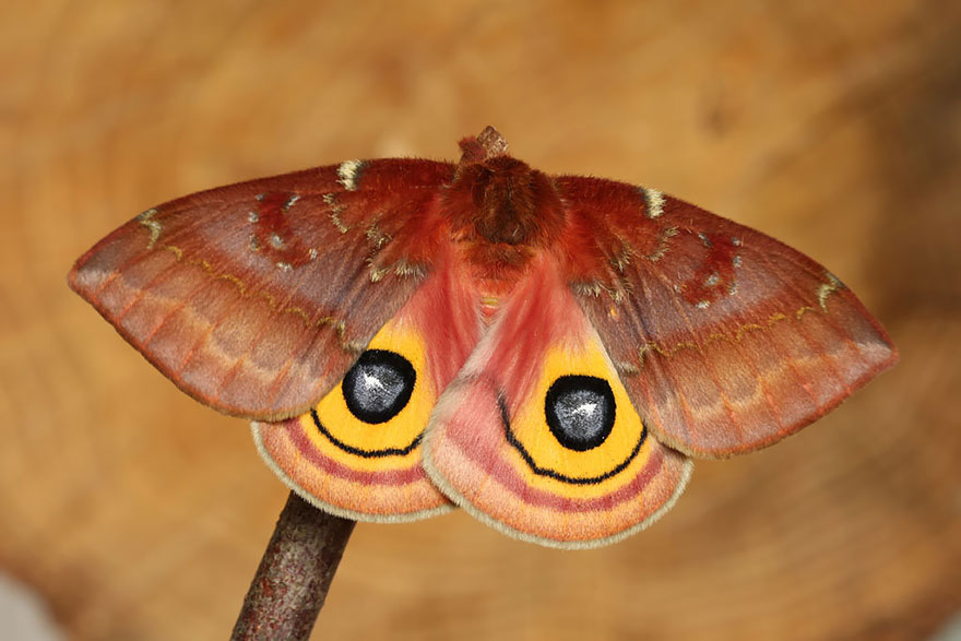 Caterpillar Moth Butterfly Before After Metamorphosis - Io Moth 02