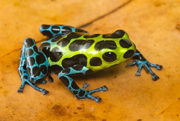 Most Poisonous Frogs in the World - Splash Backed Poison Frog