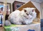 Albert, The Sheep-Cat With Permanent Angry Face