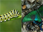 19 Before and After Photos of Butterfly and Moth Transformations