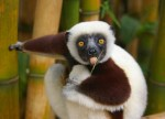 27 Pairs Of Staring Cute Lemurs Eyes