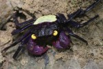 Two New Species Of Vampire Crabs Discovered