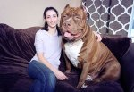 Hulk, At 173 Lbs, Might Be The World's Biggest Pitbull And He's Still Growing!