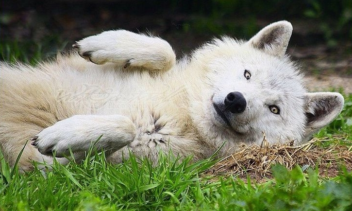 Wolves Turn Into Adorable Puppies For Belly Rubs