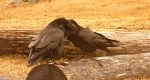 Ravens in Love: Amazing Love Ritual Between 2 Affectionate Ravens