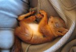 Family Adopt Baby Red Squirrel And It Lives With Them For Six Years