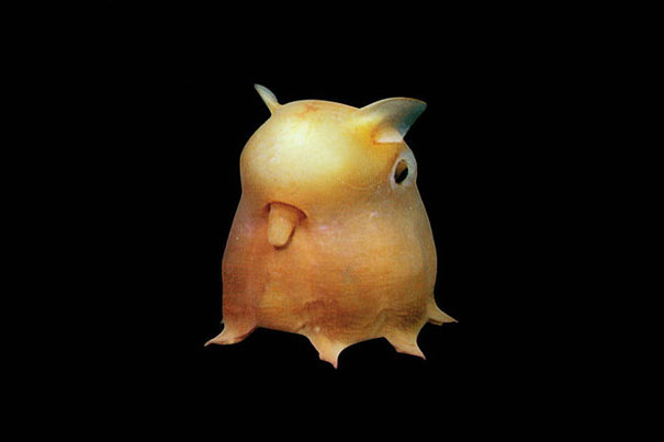 22 Strange Animals You Probably Didn't Know Exist - Dumbo Octopus