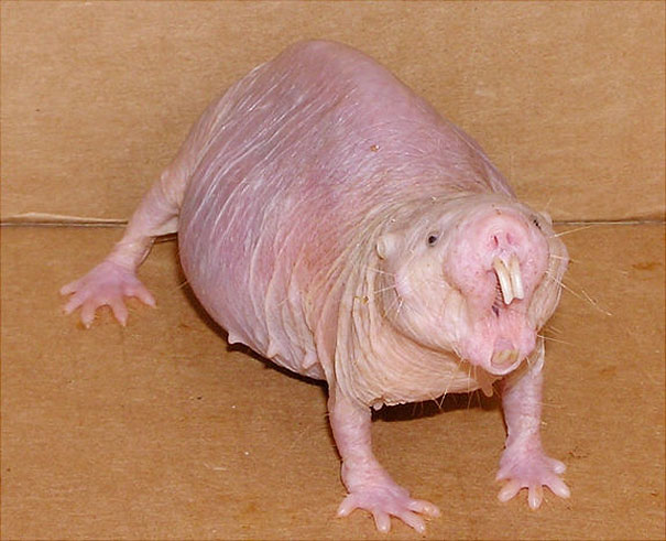 22 Strange Animals You Probably Didn't Know Exist - Naked Mole Rat