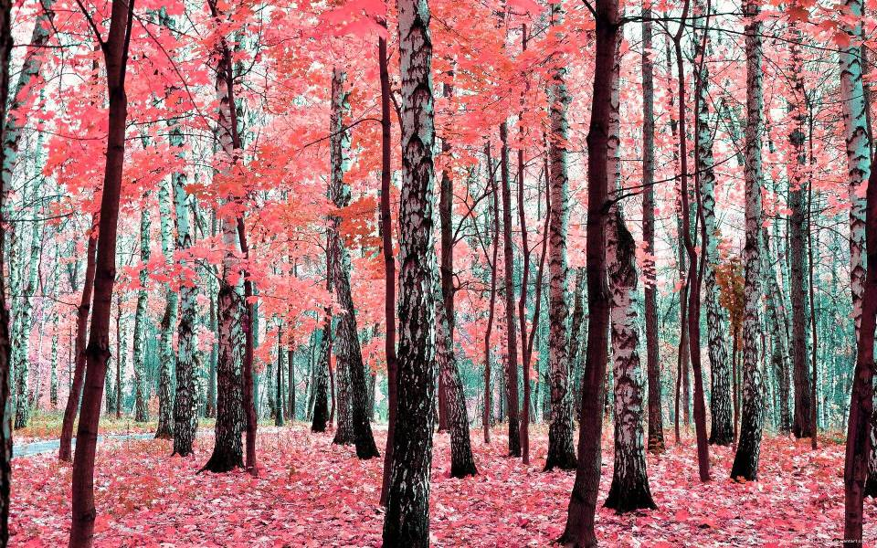 Beautiful Trees - Birch Tree 1