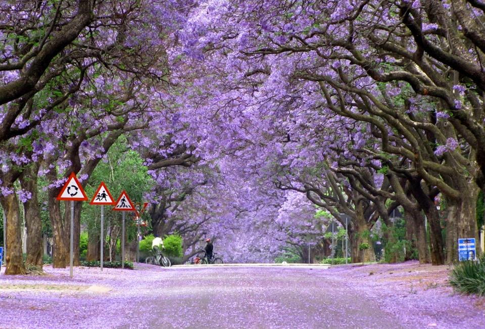 Beautiful Trees - Jacaranda trees in bloom