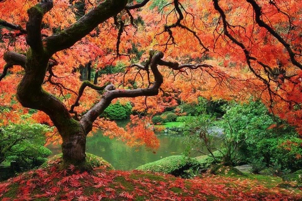 Beautiful Trees - Japanese Maple Tree (2)