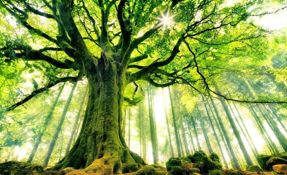 Beautiful Trees - Ponthus beech tree in Brocéliande forest, France