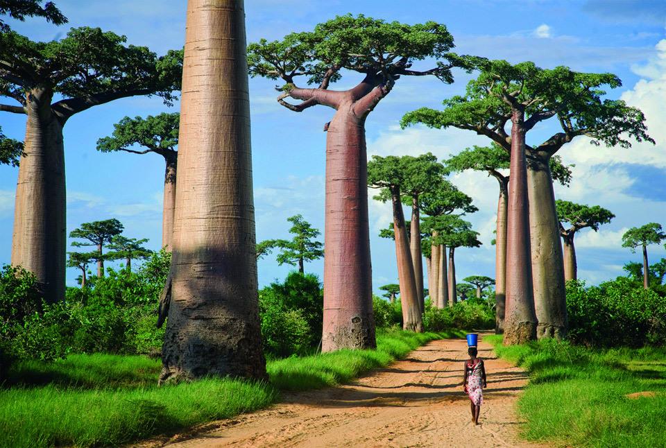 "Beautiful Trees - Road of the ""Giant Trees"", Madagascar"