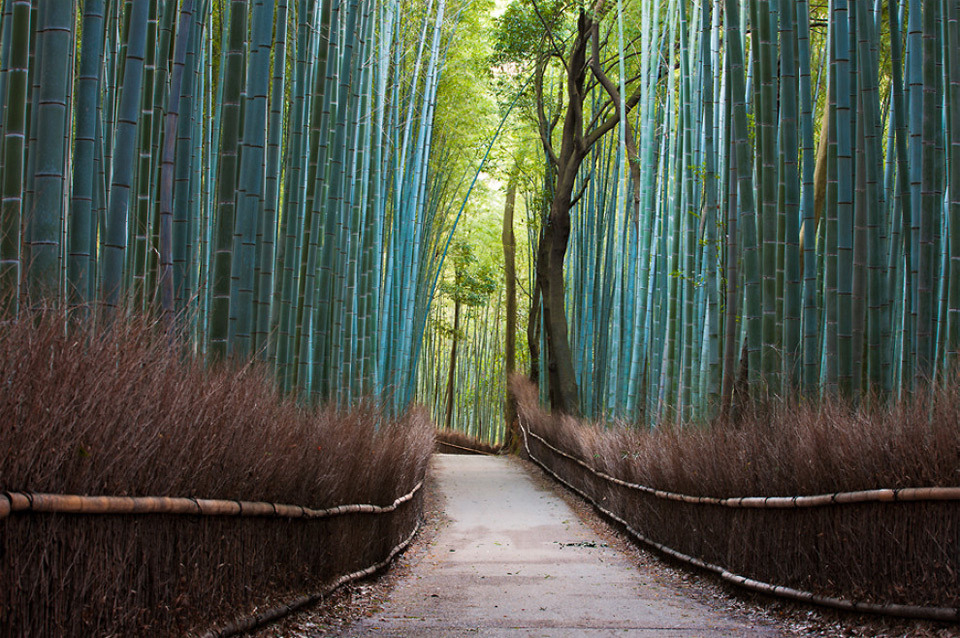 Beautiful Trees - Sagano bamboo forest in Kyoto, Japan