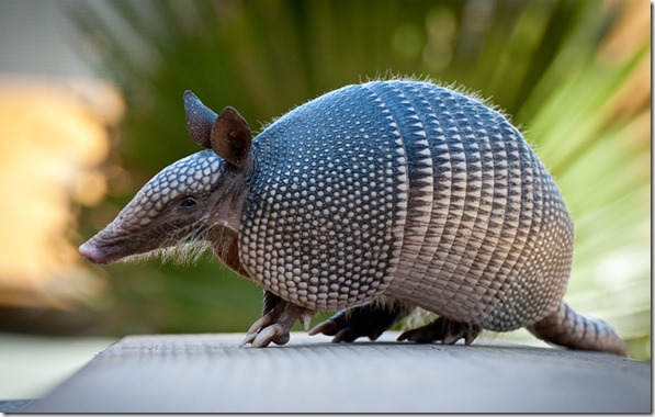 Mayan Spirit Animal - Armadillo