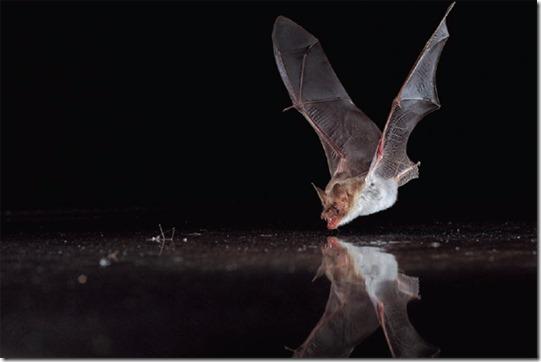Mayan Spirit Animal - Bat