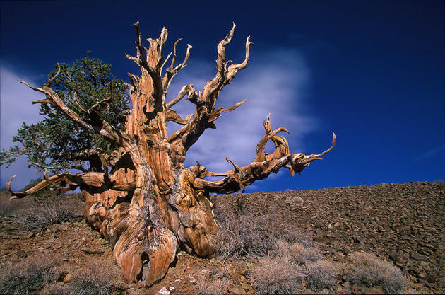 The Oldest Non-Clonal Tree in the World Methuselah