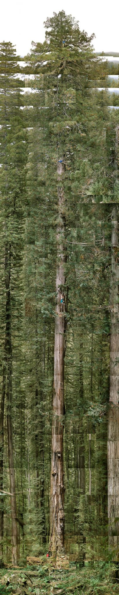 The Tallest Tree in the World - Stratosfere Giant