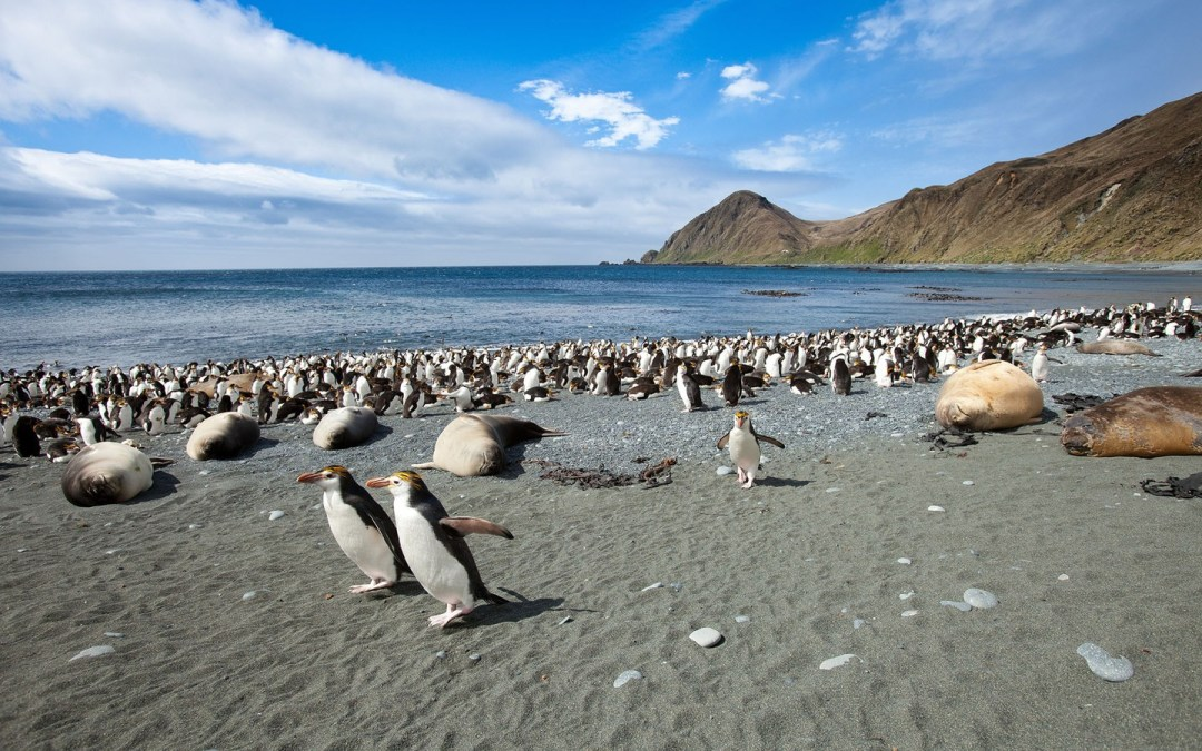 Macquarie Island – Penguins, penguins, penguins