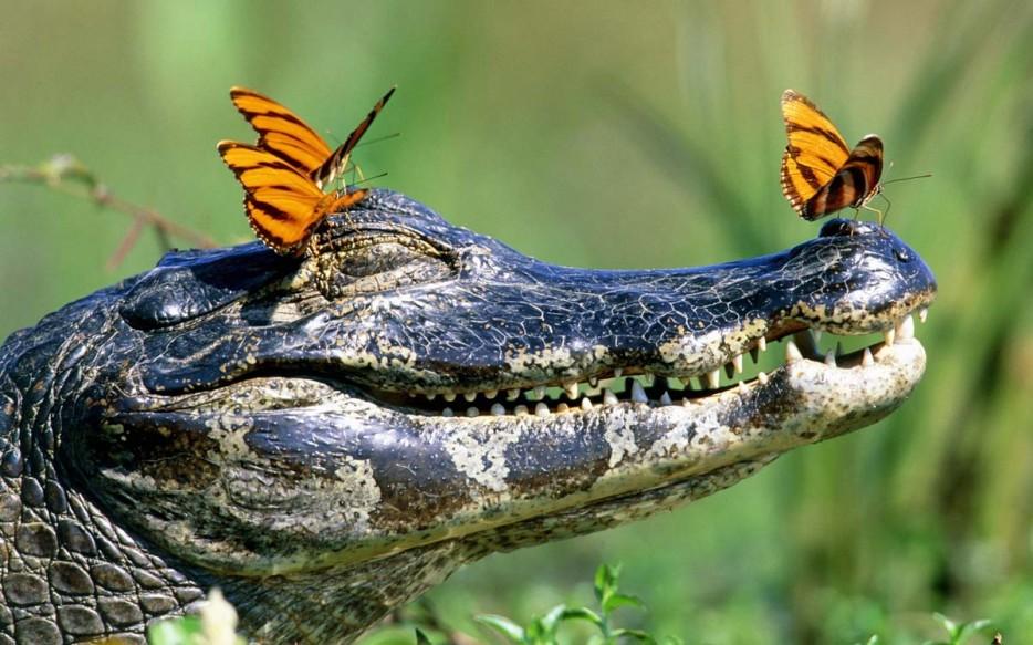 an alligator crowned in butterflies
