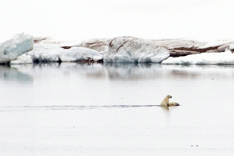 Hitching a ride: The cub clambers on to its mother's back to avoid the icy