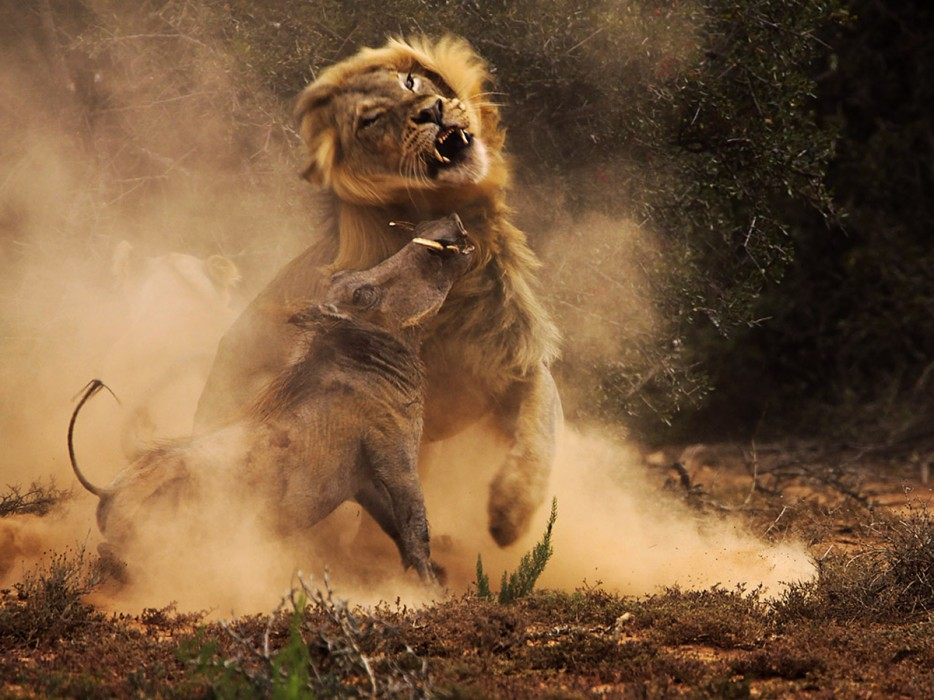 Lion Hunting a Wild Boar