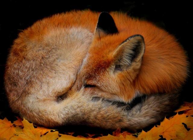 19 Photos of Adorable Sleepy Foxes