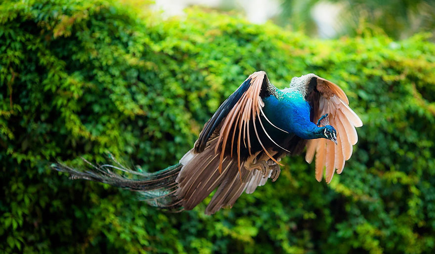 THE RARE FLIGHT OF A PEACOCK