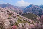 China's Apricot Blossom Will Take Your Breath Away