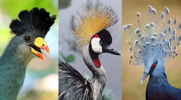 10 Beautifully Crowned Birds