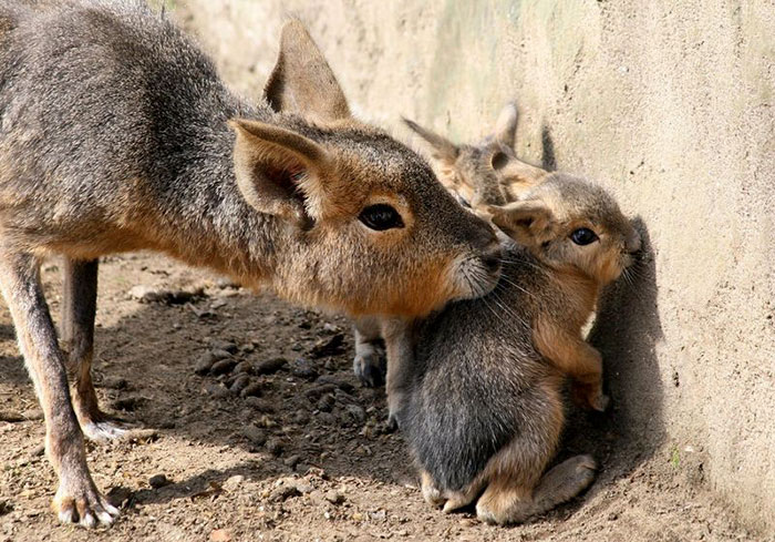 Rare Animal Babies You've Never Seen Before - 16. Patagonian Mara Babies